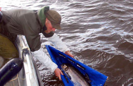 Tagging wild salmon into the deep north
