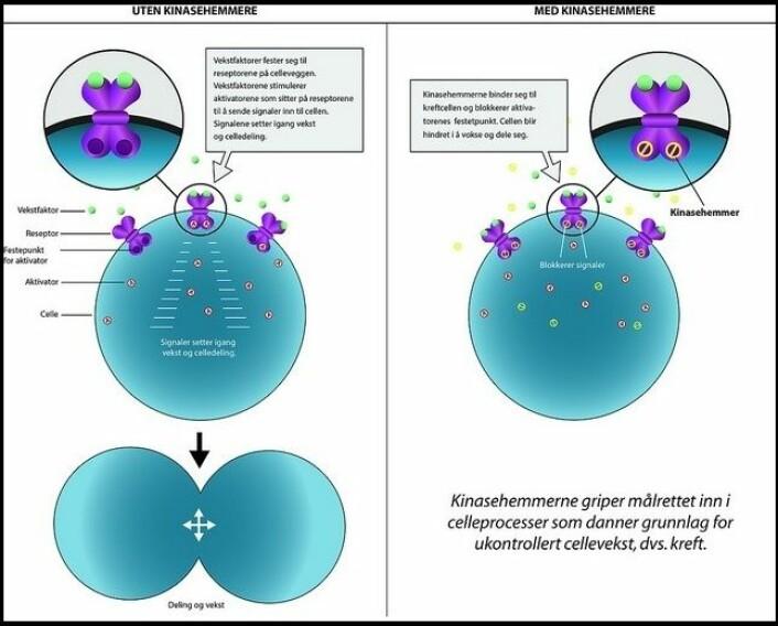 Slik virker kinasehemmere. Trykk på tegningen for å få den større. (Foto: (Illustrasjon: Steinar Kvam, TTO))