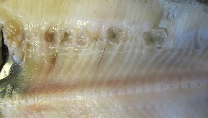 Halibut pierced by mysterious 'projectile parasite'