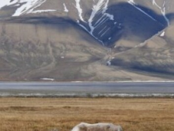 Reindeer at Svalbard. (Photo: iStockphoto)