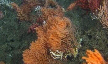 Oppdaget nytt korallrev utenfor Nordland