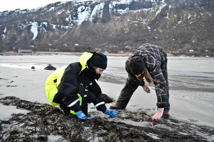Nibio-forsker Margarita Novoa-Garrido og kollega Christian Bruckner samler prøver i Løpsvika utenfor Bodø. (Foto: Trude Landstad)
