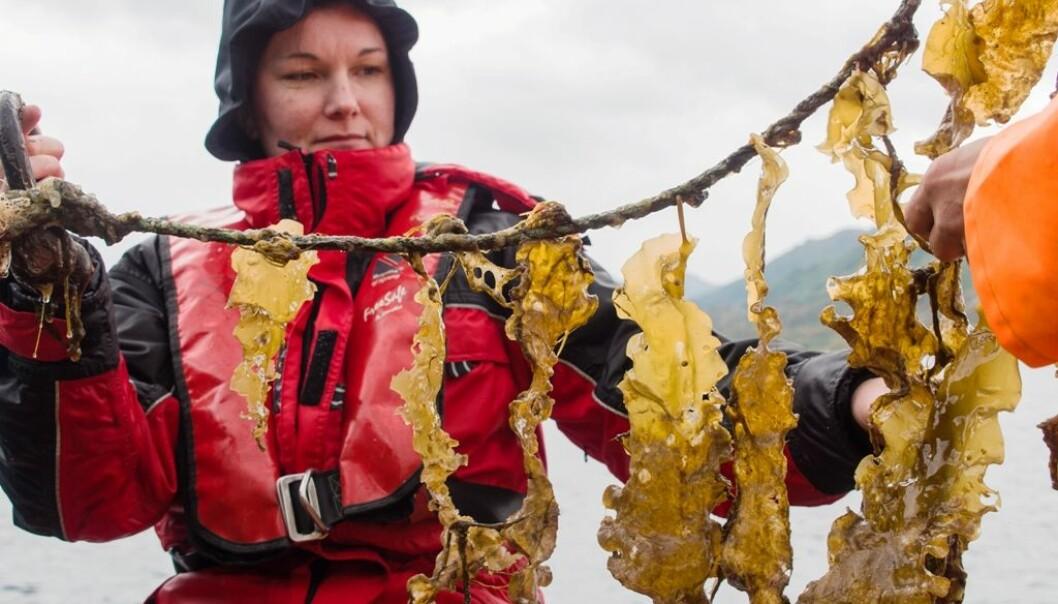 Forskere ved Nibio mener det er et stort potensial for grønt havbruk i Norge. Celine Rebours jobber med tareplante som kanskje kan ta rollen som framtidas potet for «havbonden». (Foto: R.V. Pedersen)