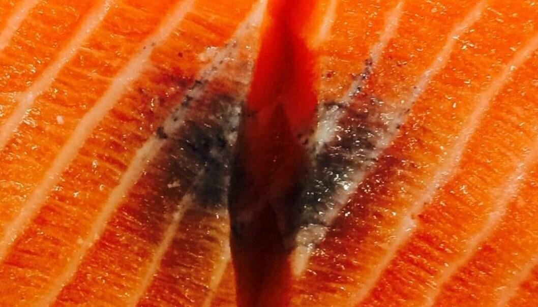 De svarte flekkene i fiskekjøttet skyldes virus. Funnet av årsaken til flekkene kan få stor betydning for fiskerinæringen.  (Foto: NMBU)