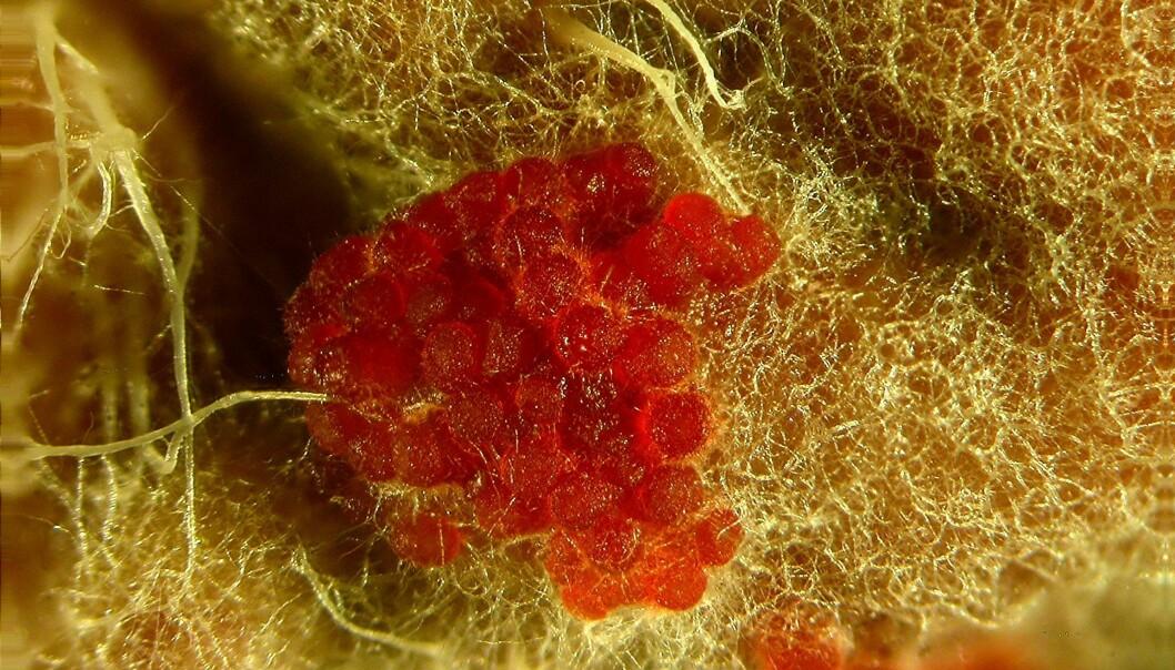Soppforsker Björn Nordén synes <em>Stylonectria norvegica</em> ser ut som gelebringebærgodteri. Er du enig? (Foto: Christian Lechat)