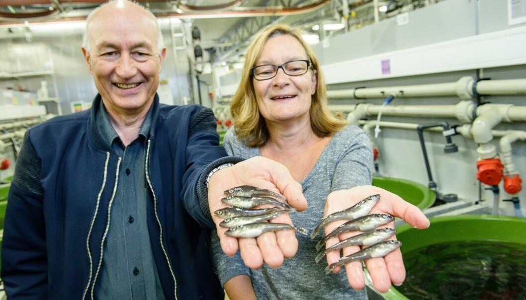 Se så fin torskeyngel! Leder for torskeavlsprogrammet, Atle Mortensen, og leder for forskningsstasjonen, Tove K. Hansen, er stolt over å ha vist at potensielt all torsk kan overleve yngelfasen når alt klaffer. (Foto: Lars Åke Andersen, Nofima)