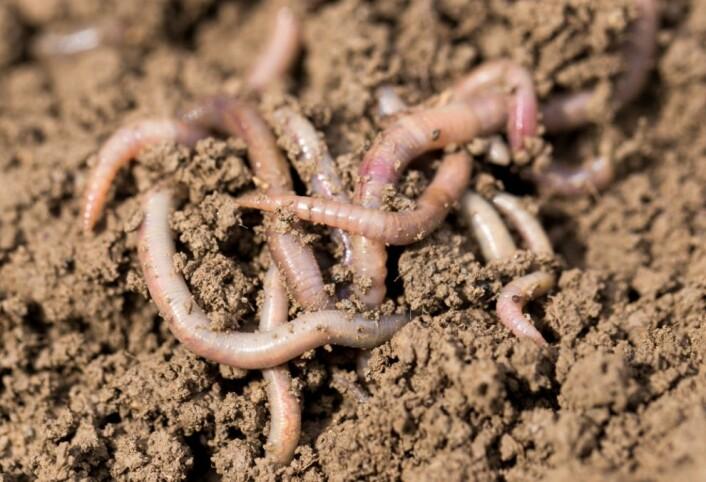 Meitemarken graver ganger som er viktige for både transport av vann, luft og næringsstoffer.  (Foto: Colourbox)