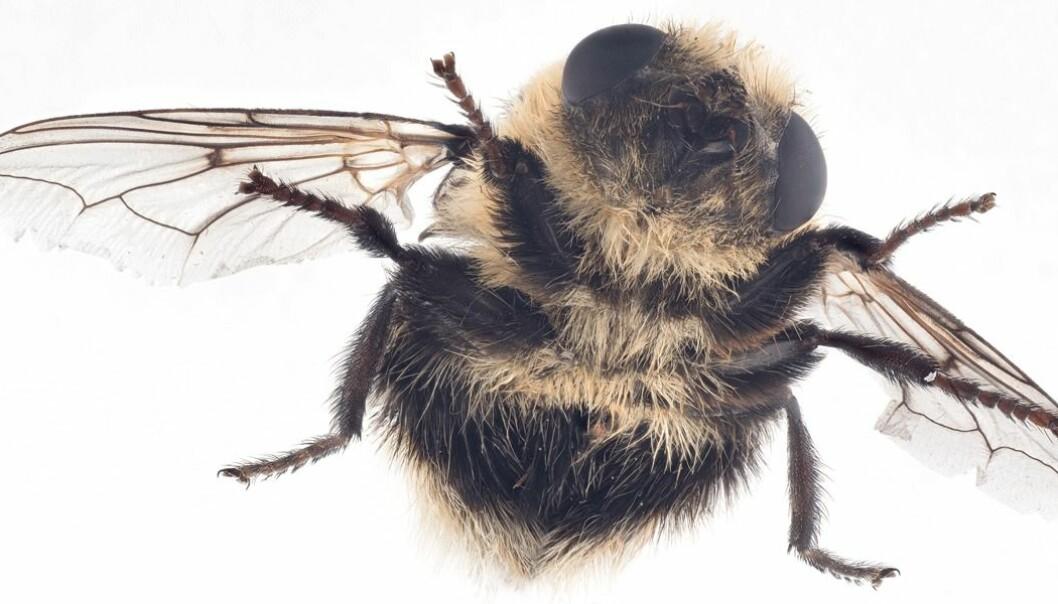 Elgbrems (Cephenemyia ulrichii) funnet i Soknedal.  (Foto: Arnstein Staverløkk, NINA)