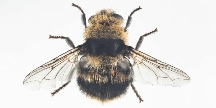 – De snur ganske enkelt bakparten mot deg som om det skulle vært et maskingevær og så peprer øynene dine med larver, forteller insektforsker Frode Ødegaard. (Foto: Arnstein Staverløkk, Nina)