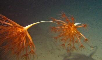 Tett i tett med dyphavssjøfjær