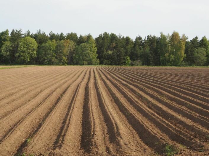 Tørkesvak sandjord, der en eventuell innblanding av biokull kan forventes å bedre avlingsnivået i tørre år. (Foto: Erik Joner)