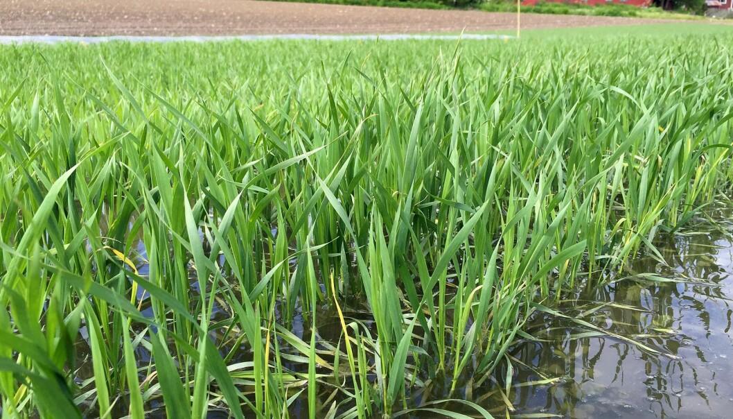 Ekstremvanning av korn på forsøksfeltet på Vollebekk i Ås. (Foto: Tove Sundgren)