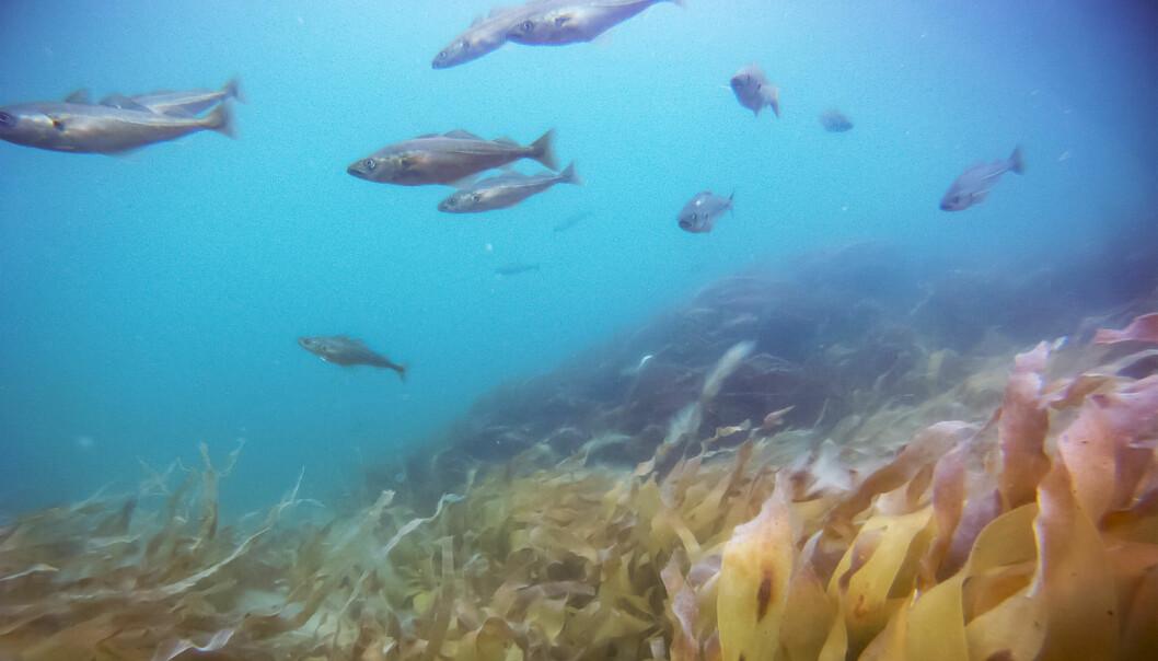 To år etter kalkingen bugner det av liv i tareskogen i Porsangerfjorden. Yngel av sei og torsk har fått skjulested og oppvekstplass. (Foto: Frithjof Moy, Havforskningsinstituttet, NTB scanpix)