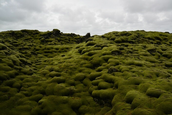 Gråmosehei på Island Foto: Anders Bryn