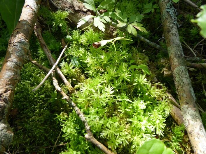 Krusfagermose - en indikator for kildepåvirket skog Foto: Heidrun A. Ullerud