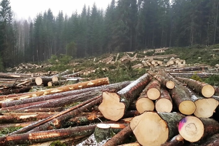 Skogbruk vil alltid være en negativ påvirkningsfaktor for vedlevende sopper fordi trærne hogges og tas ut av skogen før de dør av naturlige årsaker. Årlig hogges det 4–5 ganger mer kubikkmeter tømmer enn det som dør og blir liggende igjen i skogen. Likevel har vi i dag vesentlig mer død ved i skogen enn for 100 år siden. (Foto: Nibio)