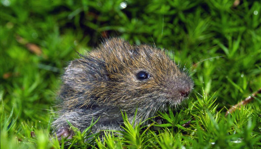 I snart 100 år har forskere forsøkt å løse gåten rundt de store svingningene til  smågnagere som mus og lemen. Det er skrevet hundrevis av forskningsartikler og bøker om temaet. Men fortsatt er forskerne rykende uenige. ( (Foto: SieBio/Wikimedia Commons)