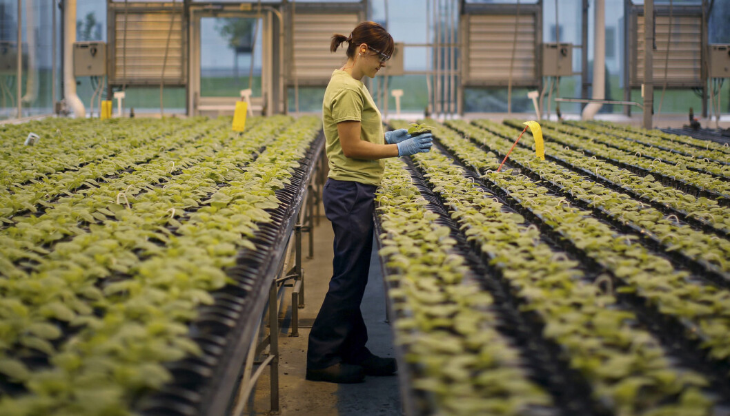 Dyrking av tobakk som skal testes ut som medisin, her fra Medicago greenhouse i Quebec City i Canada.  (Foto: Mathieu Belange, Reuters/NTB scanpix)