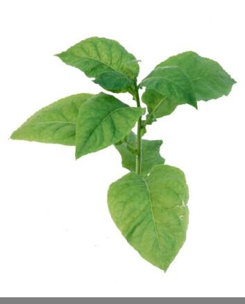 Blader fra tobakksplanten. (Foto: NIBIO)
