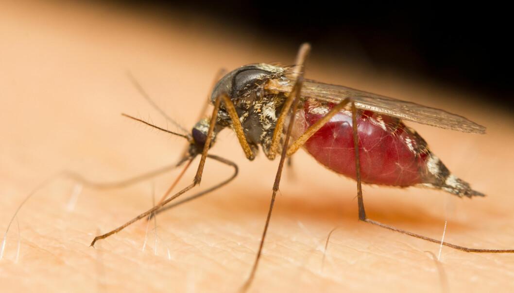 Det ser ut til at myggen foretrekker å suge blod fra noen mennesker i stedet for andre. Svaret på det mysteriet skal finnes i de duftene som hver av oss skiller ut.  (Illustrasjonsfoto: Microstock)