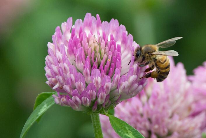 Flere humler og bier kan være løsningen for å få opp den altfor lave frøproduksjonen i norske kløverenger. Honningbiene (tambiene) som den på bildet er ikke like effektive som de langtungede humlene til å pollinere rødkløver, men bisamfunnene er så store at de også kan gjøre en betydelig jobb.  (Foto: Georg Mathisen)