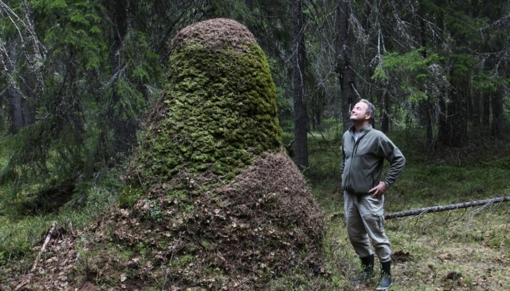 Torstein Kvamme viser frem Norges høyeste maurtue.