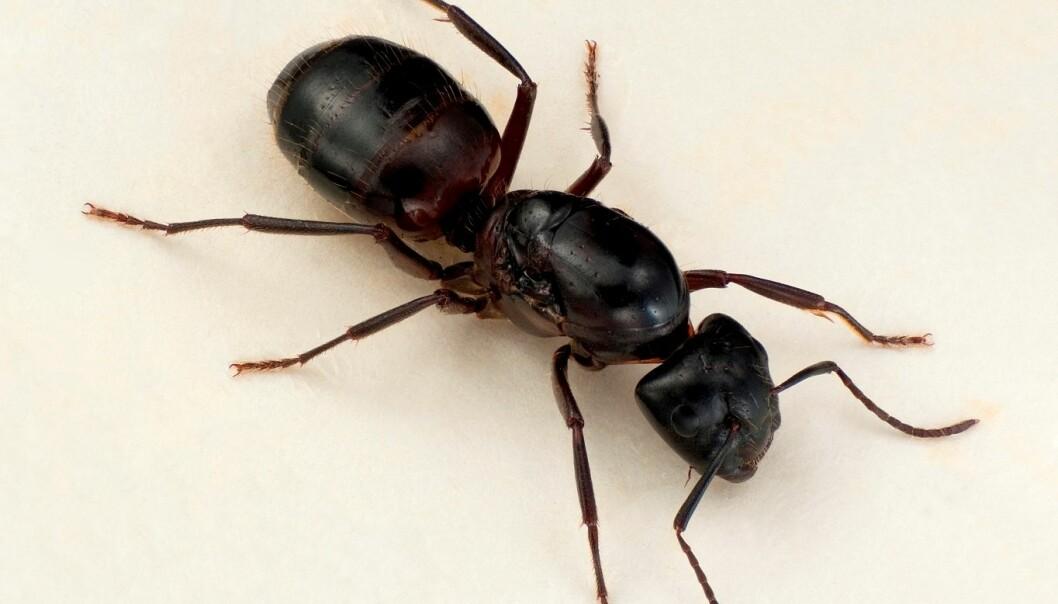 Varmekjær stokkmaur (<em>Camponotus ligniperda</em>, vengelaus dronning) kan gjere skade i hus ved å bygge reir i bygningsmateriale, men dei et ikkje trevirke. (Foto: Karsten Sund)