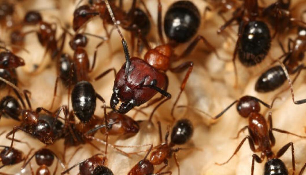 Ulike maur har forskjellige sammensetninger av duftstoffer i skallet, og andre maur kan lukte hvor de er vokst opp. Her er en dronning og hennes arbeidere. (Foto: Juergen Leibig)