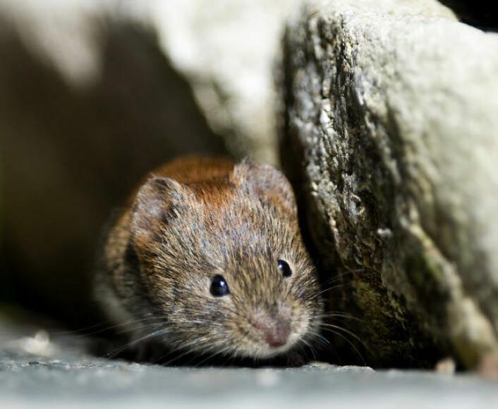Får du mus innendørs på hytta eller i huset, er det mest sannsynlig klatremusa som er på besøk.  (Foto: Bård Bredesen/Naturarkivet.no)