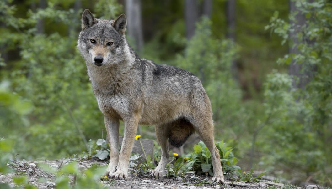 Ulven er ikke  akutt truet, som art, men den er i sterk tilbakegang, sett over historisk tid. (Illustrasjonsfoto: Microstock)