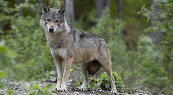 Kommentar: Hvor kommer ulvehatet fra?