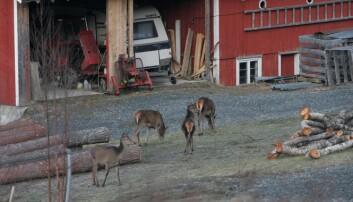 Hjort kan enkelte steder kan føre til konflikter og skader på skog og avlinger i jordbruket. (Foto: Anita Land, Nibio)