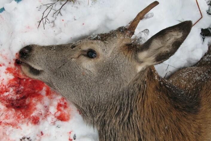 Hvert år fører påkjørsler av hjort, rådyr og elg  til skade på personer og dyr. (Foto: Anita Land, Nibio)