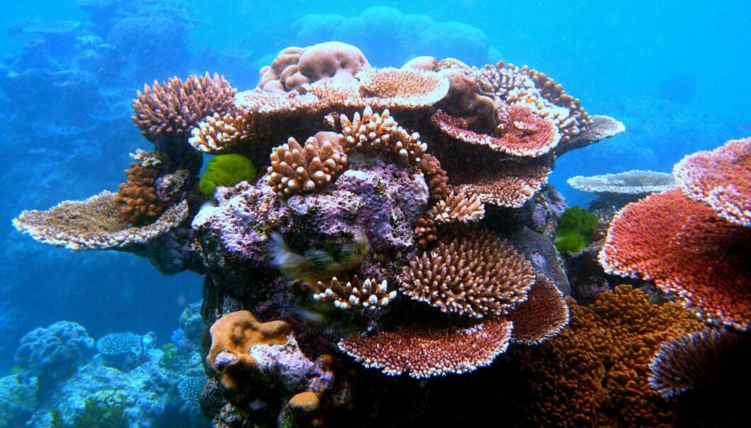 """Dette er et bilde fra Great Barrier Reef, et av verdens store korallrev. Lydopptakene er ikke fra dette revet. <a href=""""http://commons.wikimedia.org/wiki/File:Coral_Outcrop_Flynn_Reef.jpg"""">Toby Hudson</a>"""