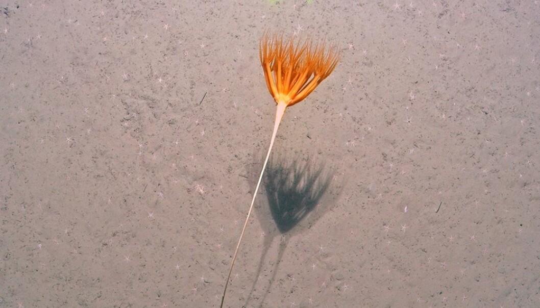 En sjølilje er et havdyr som har lange fjærlignende grener som strekker seg ut i vannsøylen. (Foto: Cage)