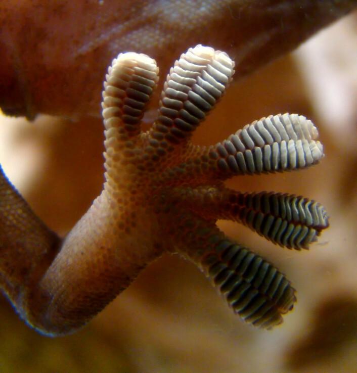Nærbilde av en gekko-fot. Hårene er så små at du ikke kan se de på dette bildet. (Foto: Wikimedia Commons)