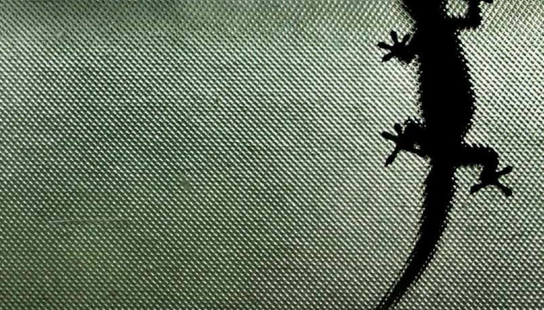 En gekko sitter på et vertikalt vindu.  (Foto: Steve Evans/CC BY-SA 2.0)