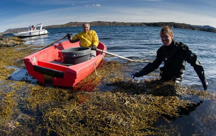 Forskerne Trond Amundsen og Sebastian Wacker på vei ut i tangen. (Foto: Per Harald Olsen, NTNU)