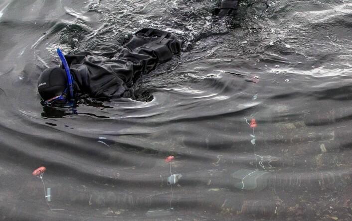 Mye av forskningen foregår med dykkermaske og snorkel. Forskerne ligger på magen og følger med på fiskene nede i tangen. Hvilke hanner vinner kampen om damene? Når er det hunnene som blir de seksuelt pågående? Og hvor har de egentlig eggene sine?  (Foto: Per Harald Olsen, NTNU)