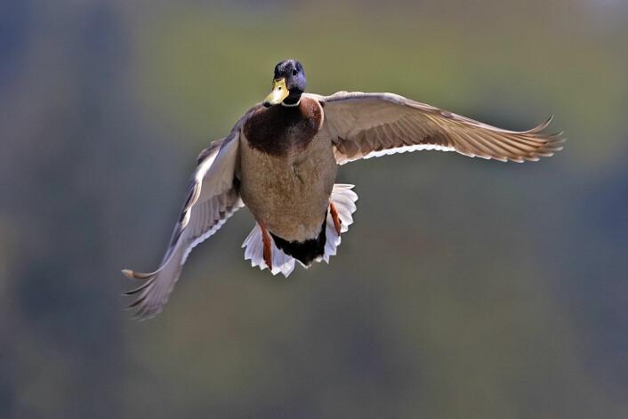 Flyr stokkanda sørover om vinteren eller blir den i Norge? Det spørsmålet får man ikke svar på i dype norske skoger uten mobildekning. (Foto: Alan D. Wilson, www.naturespicsonline.com / Wikimedia CC BY-SA 2.5)