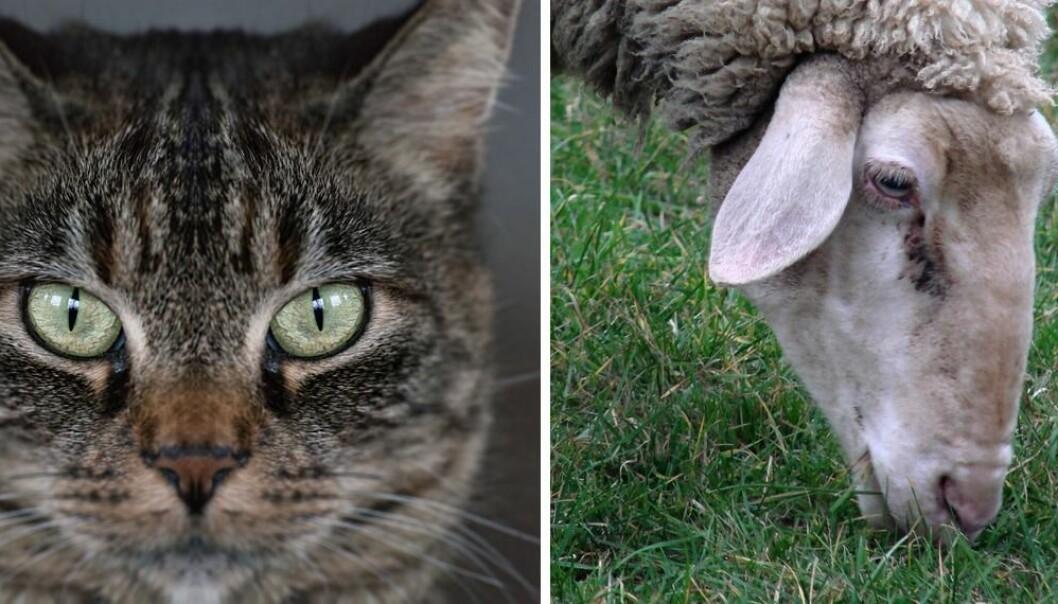 Øynene til katten vender framover i samme retning, og pupillene snurper seg loddrett sammen. Slik kan den både bedømme avstand før spranget mot byttedyret og samtidig skjerme øyet for blendende dagslys. Sauen har ett øye på hver side av hodet, og vannrette pupiller, selv når den bøyer hodet for å gresse. Slik får den bredere oversikt over farlige rovdyr. (Foto: Colourbox/Andreas Cappell, Creative Commons Attribution 2.0 Generic license.)