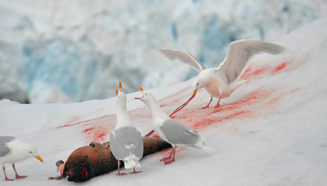 Polarmåken er øverst i næringskjeden og en viktig indikator for helsestatusen til flere andre arter i det arktiske økosystemet. Bildet viser polarmåker som spiser på et ferskt selkadaver på Svalbard. (Foto: Geir Wing Gabrielsen, Norsk Polarinstitutt)