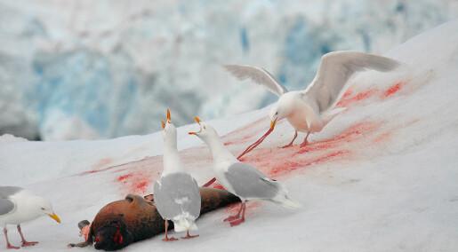 Urovekkende færre polarmåker