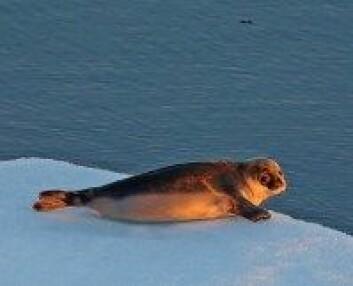Et ungdyr av klappmyss ved nordøstkysten av Grønland. (Foto: Samcot, NTNU)