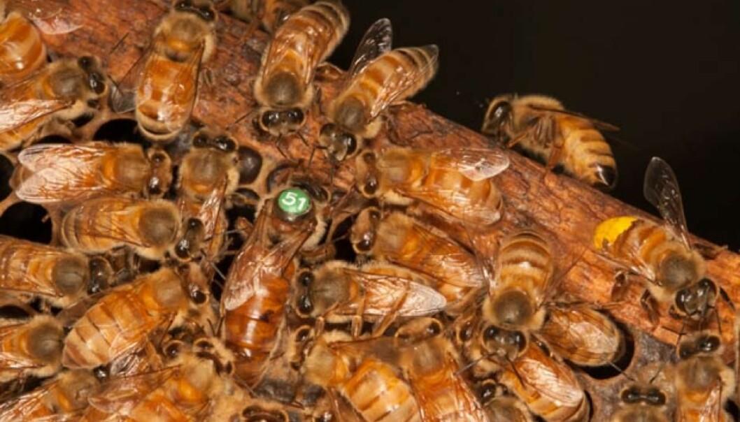 Biekolonien har en dronning (her med nummer 51) og mange tusen arbeidere som alle er jenter. Vanligvis begynner arbeiderbiene livet sitt som ammer inne i kuben, og bytter til matsankere ute i naturen etter rundt tre uker. (Foto: Christofer Bang)