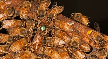 Bier som passer biebarn lever et kort liv