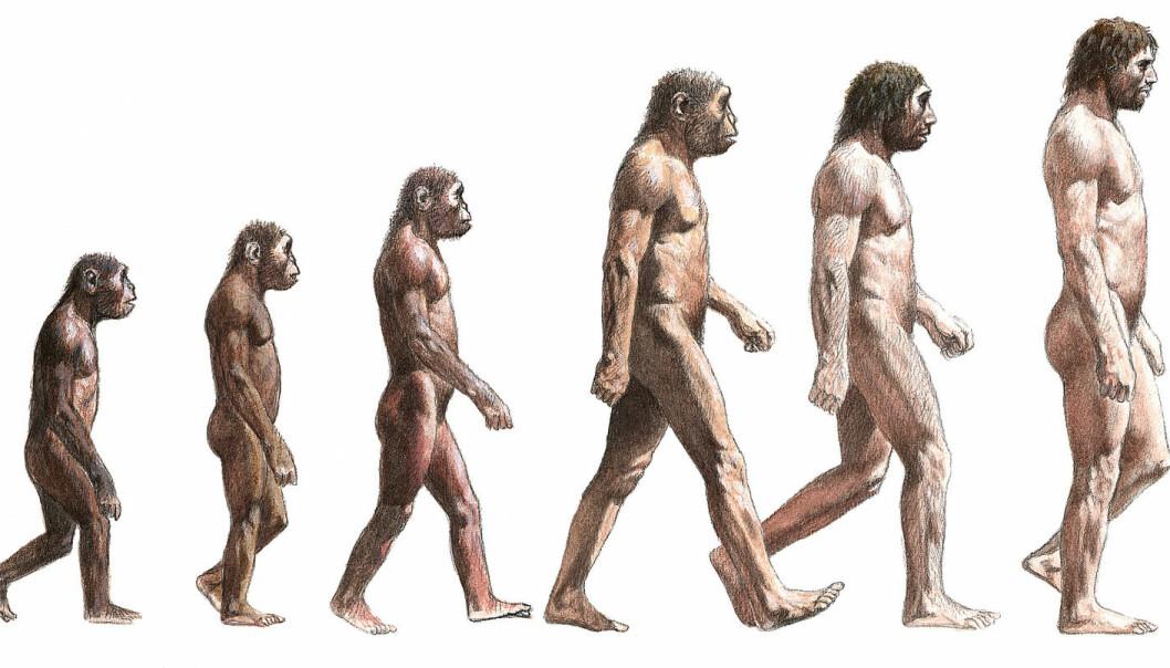 Slike illustrasjoner over utviklingen til menneskeslekten må kanskje tegnes om. <em>Homo erectus</em> (nummer tre fra høyre) var mindre enn denne illustrasjonen viser, ifølge ny forskning. (Illustrasjon: Science Photo Library)
