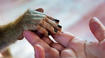 Vi har mer primitive hender enn sjimpansene