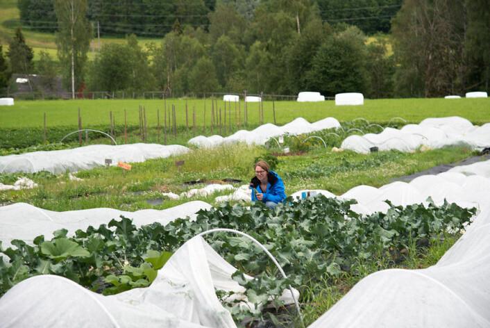Anne Strøm Prestvik inspiserer utviklingen i et broccolifelt på Sø-strøm gård i Nittedal. (Foto: Erling Fløistad)