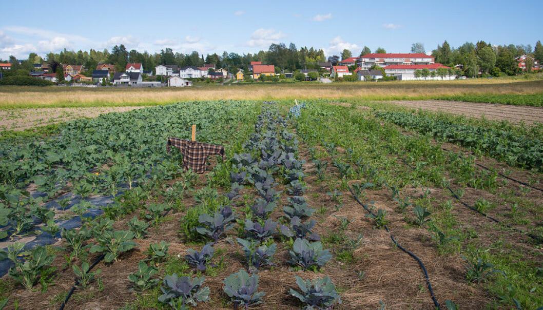 Andelslansbruksfelt på Dysterjordet i Ås. (Foto: Erling Fløistad)